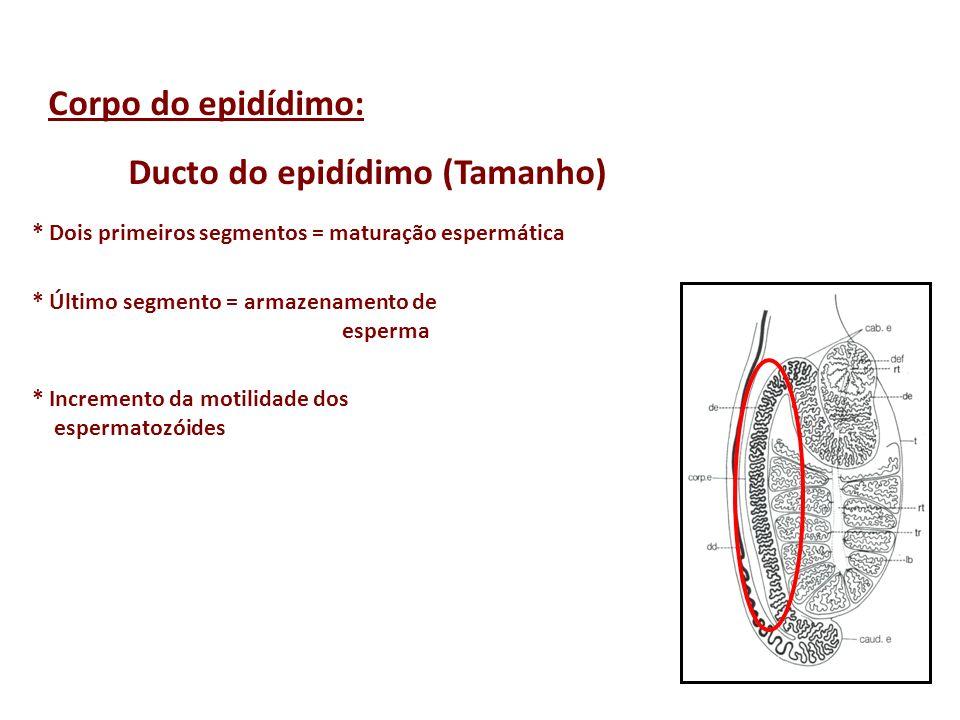 Corpo do epidídimo: Ducto do epidídimo (Tamanho) * Dois primeiros segmentos = maturação espermática * Último segmento = armazenamento de esperma * Inc