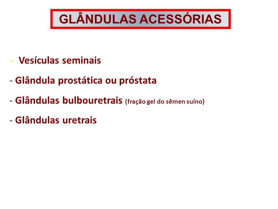 GLÂNDULAS ACESSÓRIAS - Vesículas seminais - Glândula prostática ou próstata - Glândulas bulbouretrais (fração gel do sêmen suíno) - Glândulas uretrais