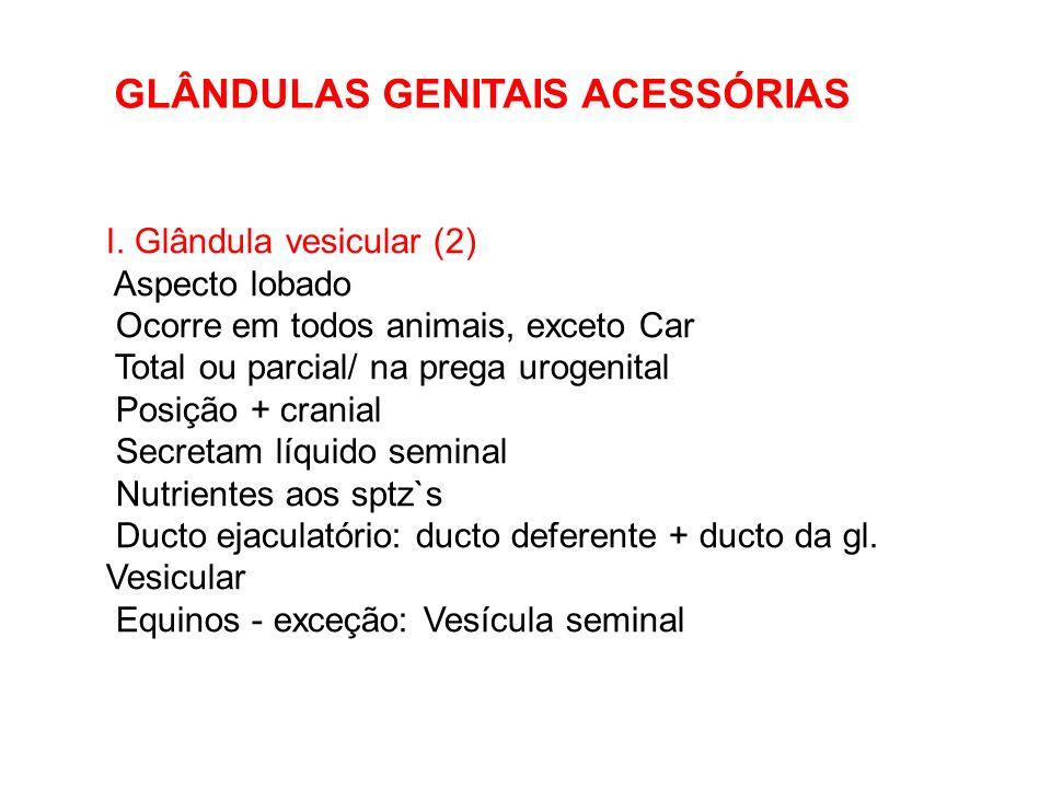 I. Glândula vesicular (2) Aspecto lobado Ocorre em todos animais, exceto Car Total ou parcial/ na prega urogenital Posição + cranial Secretam líquido