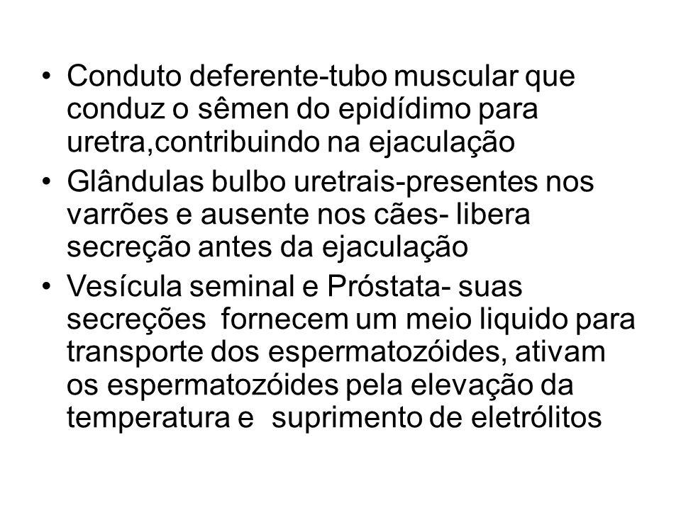 Conduto deferente-tubo muscular que conduz o sêmen do epidídimo para uretra,contribuindo na ejaculação Glândulas bulbo uretrais-presentes nos varrões