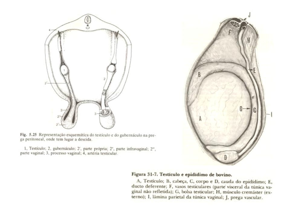Conduto deferente-tubo muscular que conduz o sêmen do epidídimo para uretra,contribuindo na ejaculação Glândulas bulbo uretrais-presentes nos varrões e ausente nos cães- libera secreção antes da ejaculação Vesícula seminal e Próstata- suas secreções fornecem um meio liquido para transporte dos espermatozóides, ativam os espermatozóides pela elevação da temperatura e suprimento de eletrólitos