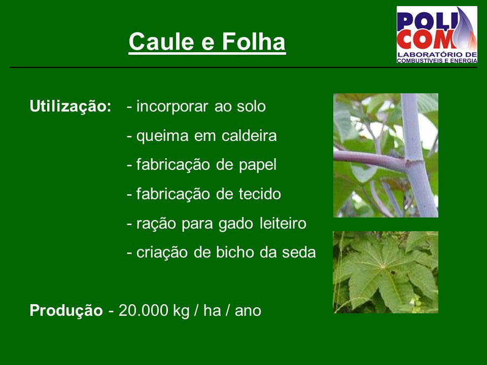 Caule e Folha Utilização: - incorporar ao solo - queima em caldeira - fabricação de papel - fabricação de tecido - ração para gado leiteiro - criação de bicho da seda Produção - 20.000 kg / ha / ano