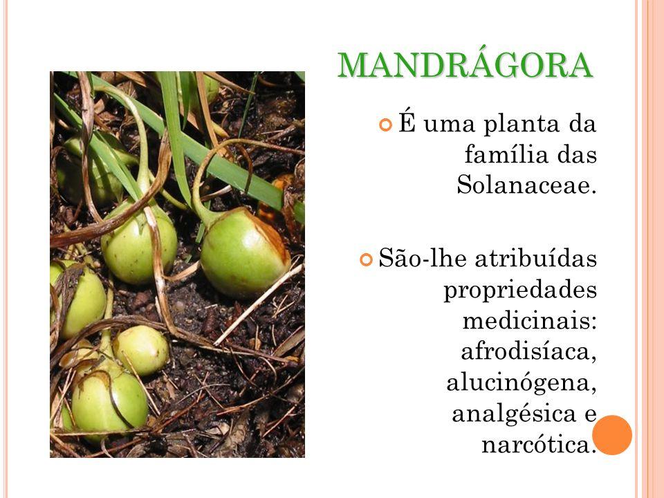 MANDRÁGORA É uma planta da família das Solanaceae.