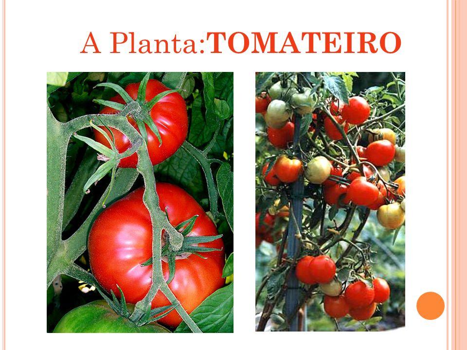 CULTIVO DO TOMATE Plantio : Atualmente, utiliza-se mudas produzidas em bandejas e transplantadas com auxílio de máquinas ou até mesmo manualmente, dispensando-se o uso de canteiros.