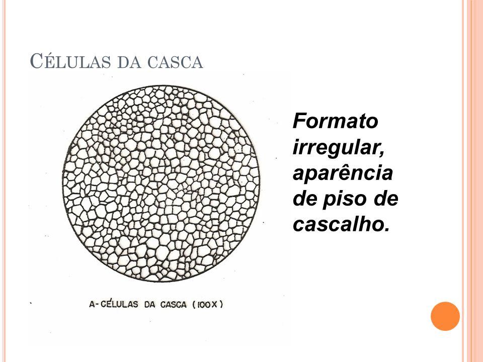 C ÉLULAS DA CASCA Formato irregular, aparência de piso de cascalho.