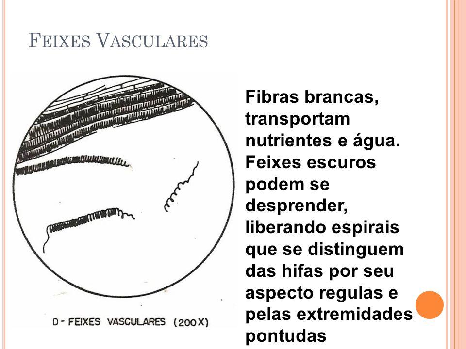F EIXES V ASCULARES Fibras brancas, transportam nutrientes e água.