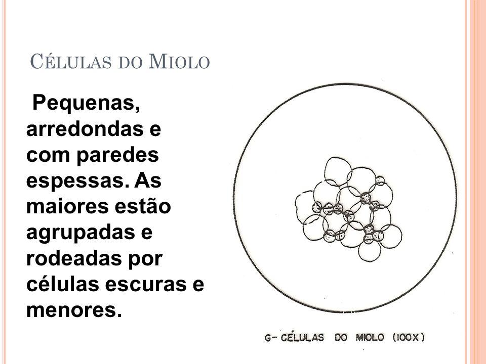 C ÉLULAS DO M IOLO Pequenas, arredondas e com paredes espessas.