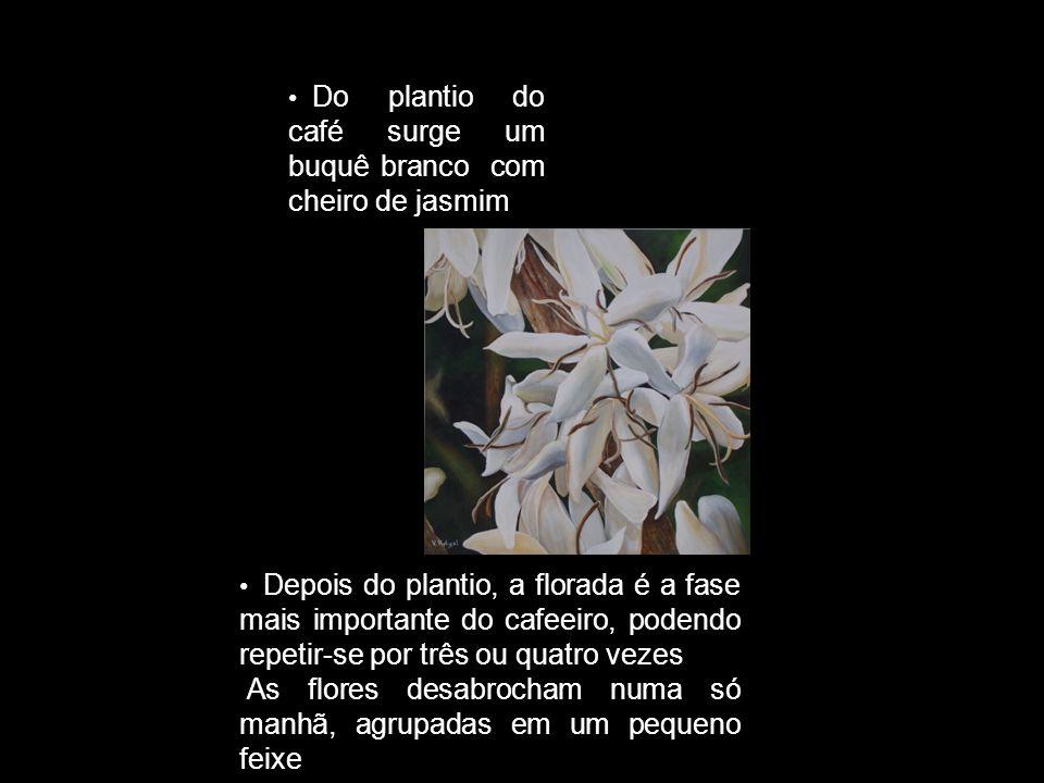 Do plantio do café surge um buquê branco com cheiro de jasmim Depois do plantio, a florada é a fase mais importante do cafeeiro, podendo repetir-se po