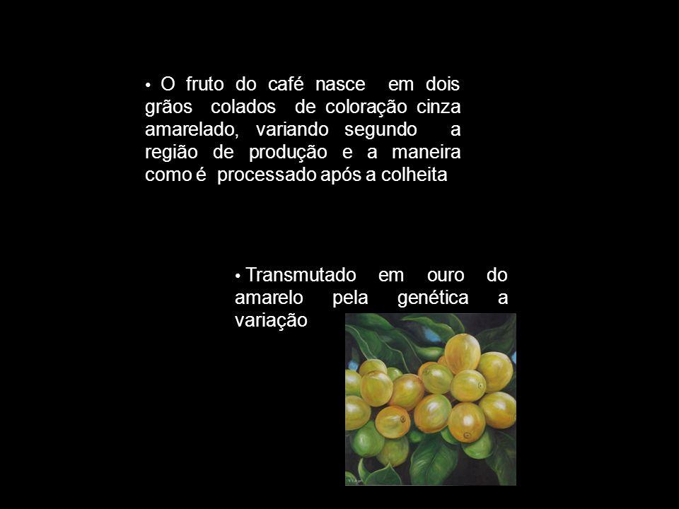 Transmutado em ouro do amarelo pela genética a variação O fruto do café nasce em dois grãos colados de coloração cinza amarelado, variando segundo a r