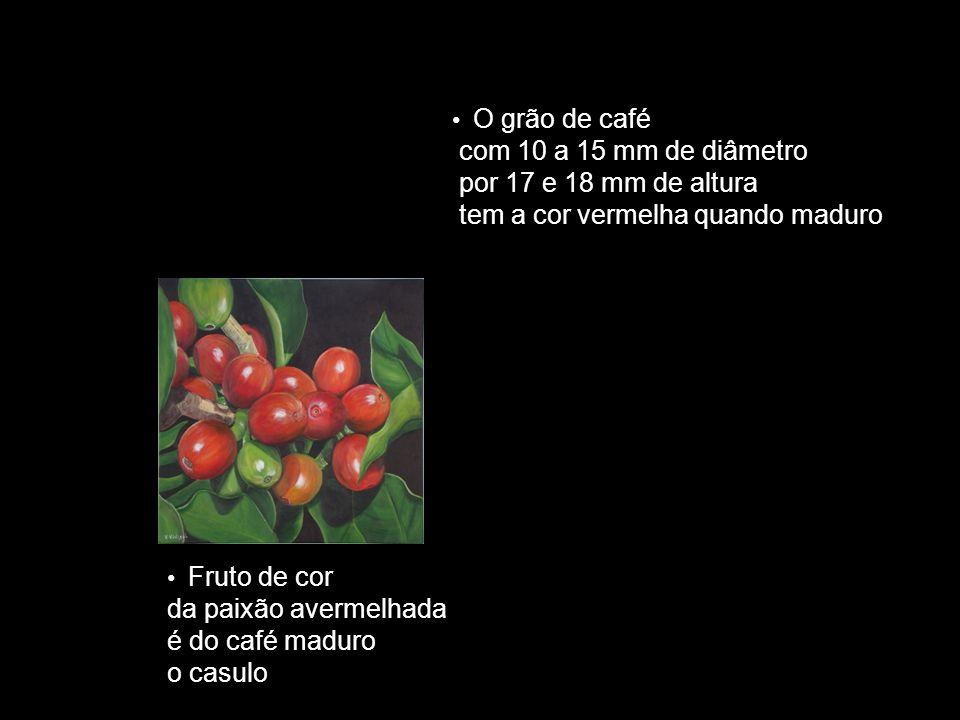 Fruto de cor da paixão avermelhada é do café maduro o casulo O grão de café com 10 a 15 mm de diâmetro por 17 e 18 mm de altura tem a cor vermelha qua