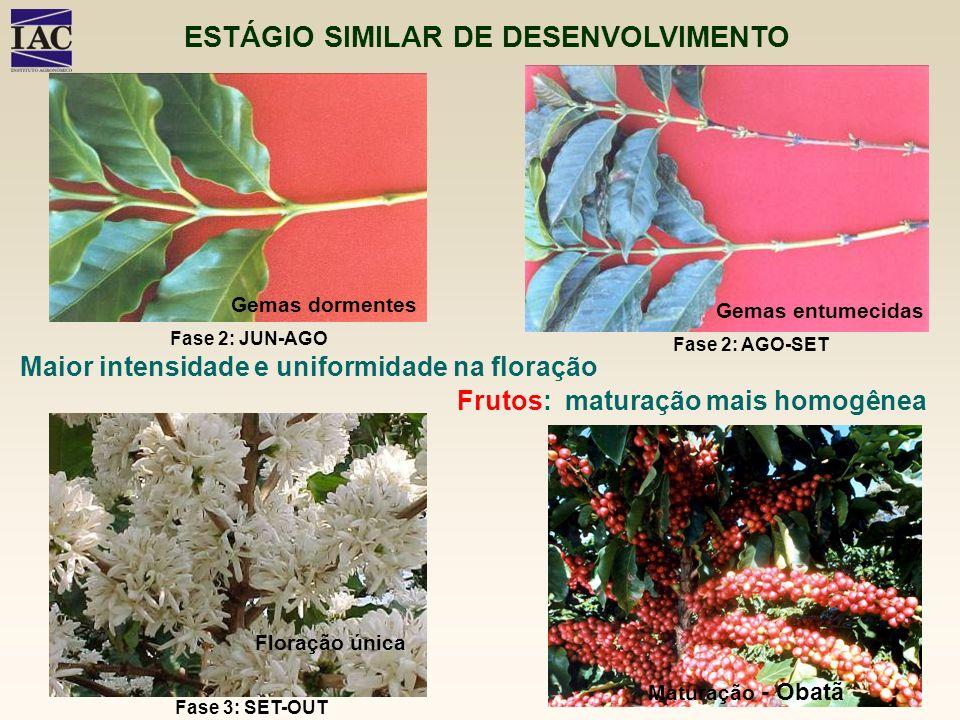 Gemas dormentes Gemas entumecidas Floração única Maturação - Obatã ESTÁGIO SIMILAR DE DESENVOLVIMENTO Maior intensidade e uniformidade na floração Fru