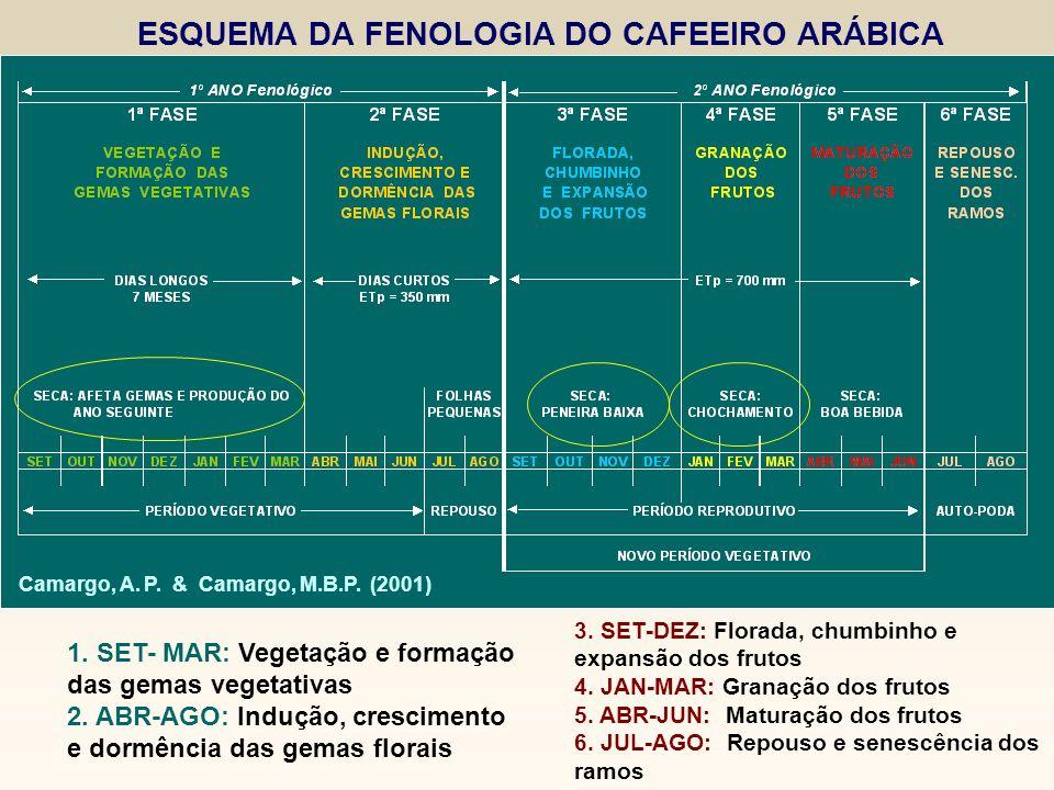 ESQUEMA DA FENOLOGIA DO CAFEEIRO ARÁBICA Camargo, A. P. & Camargo, M.B.P. (2001) 1. SET- MAR: Vegetação e formação das gemas vegetativas 2. ABR-AGO: I