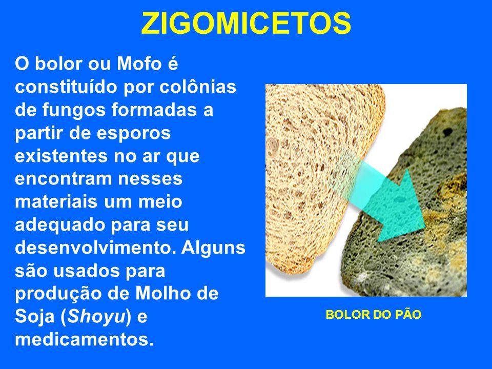 ZIGOMICETOS BOLOR DO PÃO O bolor ou Mofo é constituído por colônias de fungos formadas a partir de esporos existentes no ar que encontram nesses materiais um meio adequado para seu desenvolvimento.
