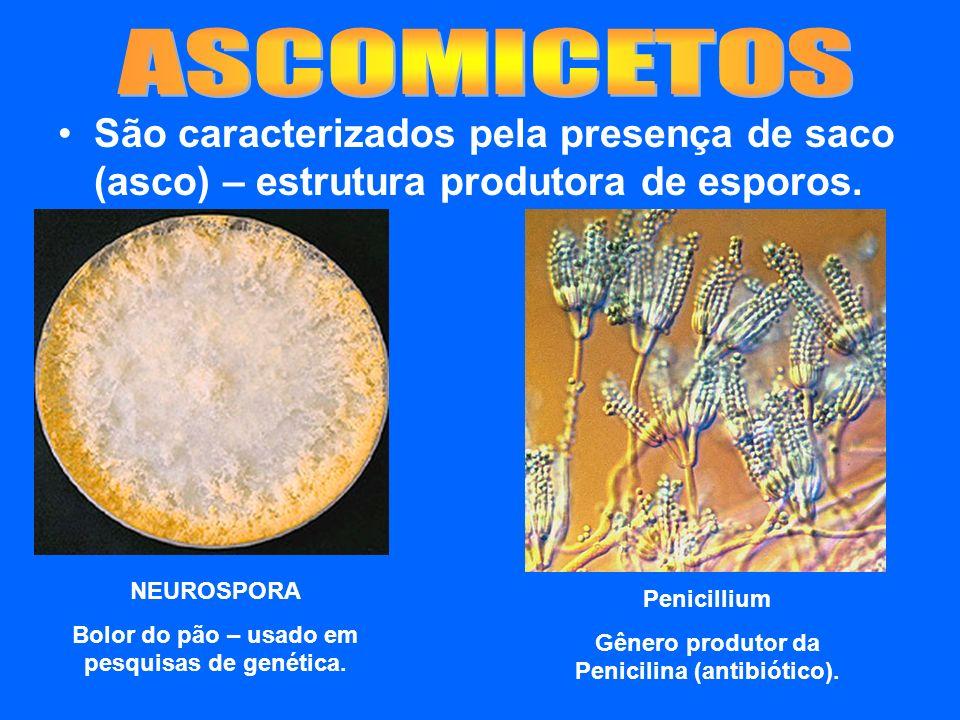 São caracterizados pela presença de saco (asco) – estrutura produtora de esporos. NEUROSPORA Bolor do pão – usado em pesquisas de genética. Penicilliu