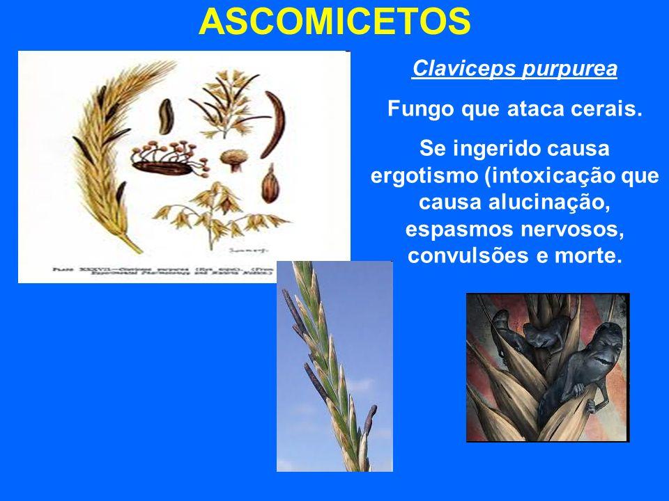 ASCOMICETOS Claviceps purpurea Fungo que ataca cerais. Se ingerido causa ergotismo (intoxicação que causa alucinação, espasmos nervosos, convulsões e