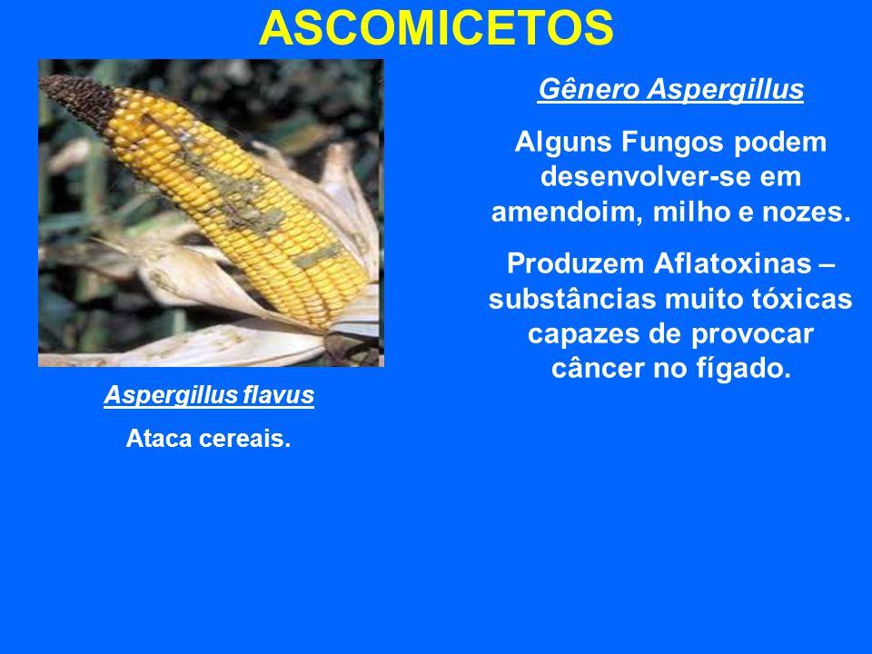 ASCOMICETOS Aspergillus flavus Ataca cereais. Gênero Aspergillus Alguns Fungos podem desenvolver-se em amendoim, milho e nozes. Produzem Aflatoxinas –
