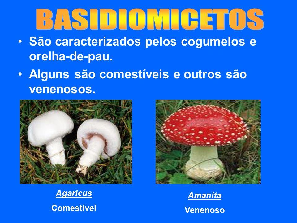 São caracterizados pelos cogumelos e orelha-de-pau. Alguns são comestíveis e outros são venenosos. Agaricus Comestível Amanita Venenoso
