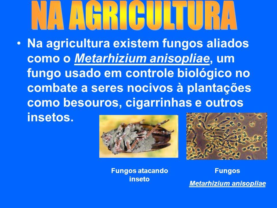 Na agricultura existem fungos aliados como o Metarhizium anisopliae, um fungo usado em controle biológico no combate a seres nocivos à plantações como