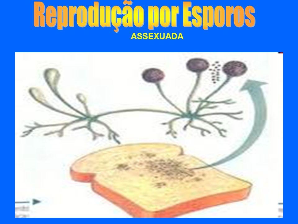 Fragmentação do micélio. ASSEXUADA