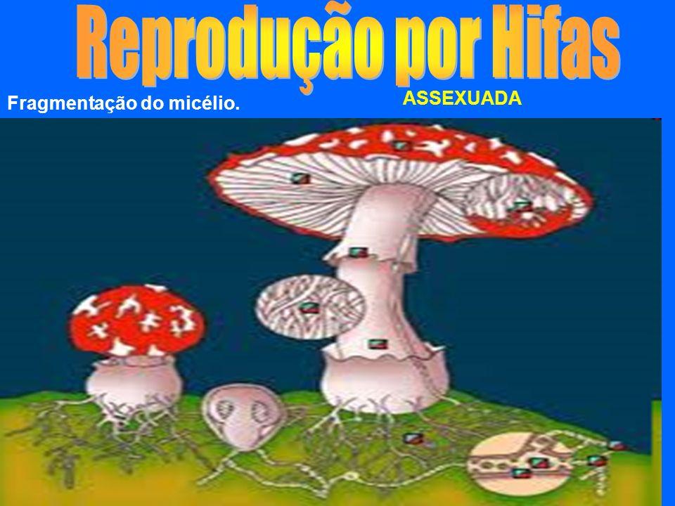 No caso dos fungos pluricelulares o corpo ou talo é chamado de Micélio. Micélio = Conjunto de hifas