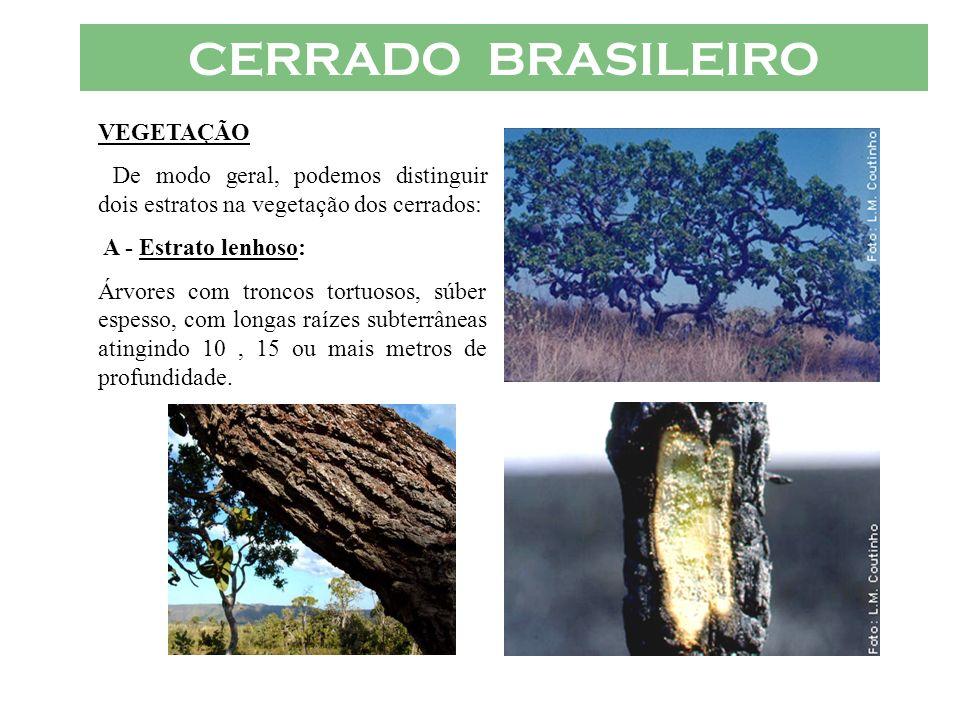 CERRADO BRASILEIRO VEGETAÇÃO De modo geral, podemos distinguir dois estratos na vegetação dos cerrados: A - Estrato lenhoso: Árvores com troncos tortu