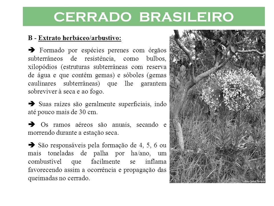 CERRADO BRASILEIRO B - Extrato herbáceo/arbustivo: Formado por espécies perenes com órgãos subterrâneos de resistência, como bulbos, xilopódios (estru
