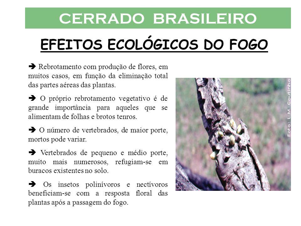 CERRADO BRASILEIRO EFEITOS ECOLÓGICOS DO FOGO Rebrotamento com produção de flores, em muitos casos, em função da eliminação total das partes aéreas da