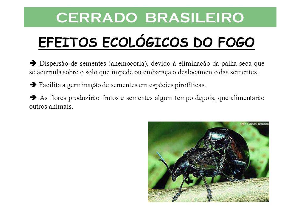 CERRADO BRASILEIRO EFEITOS ECOLÓGICOS DO FOGO Dispersão de sementes (anemocoria), devido à eliminação da palha seca que se acumula sobre o solo que im