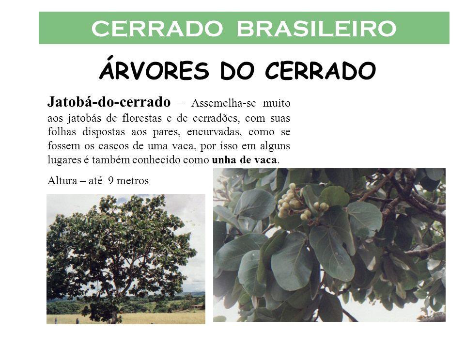 CERRADO BRASILEIRO ÁRVORES DO CERRADO Jatobá-do-cerrado – Assemelha-se muito aos jatobás de florestas e de cerradões, com suas folhas dispostas aos pa