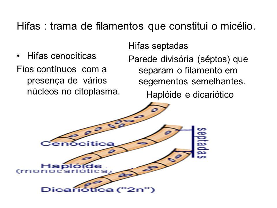 Hifas : trama de filamentos que constitui o micélio. Hifas cenocíticas Fios contínuos com a presença de vários núcleos no citoplasma. Hifas septadas P