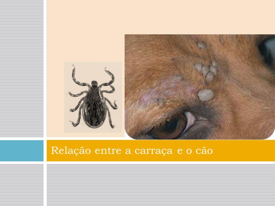 Febre Carraça É provocada pela bactéria rickétsia. A doença manifesta-se com febre, dores musculares e de cabeça, náuseas, vómitos e perda de apetite.