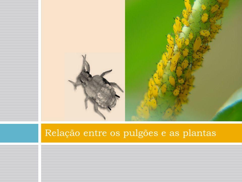 Os pulgões alojam-se nas plantas onde se reproduzem. São insetos que se alimentam da seiva de plantas. Constituem sérias pragas para a agricultura e p