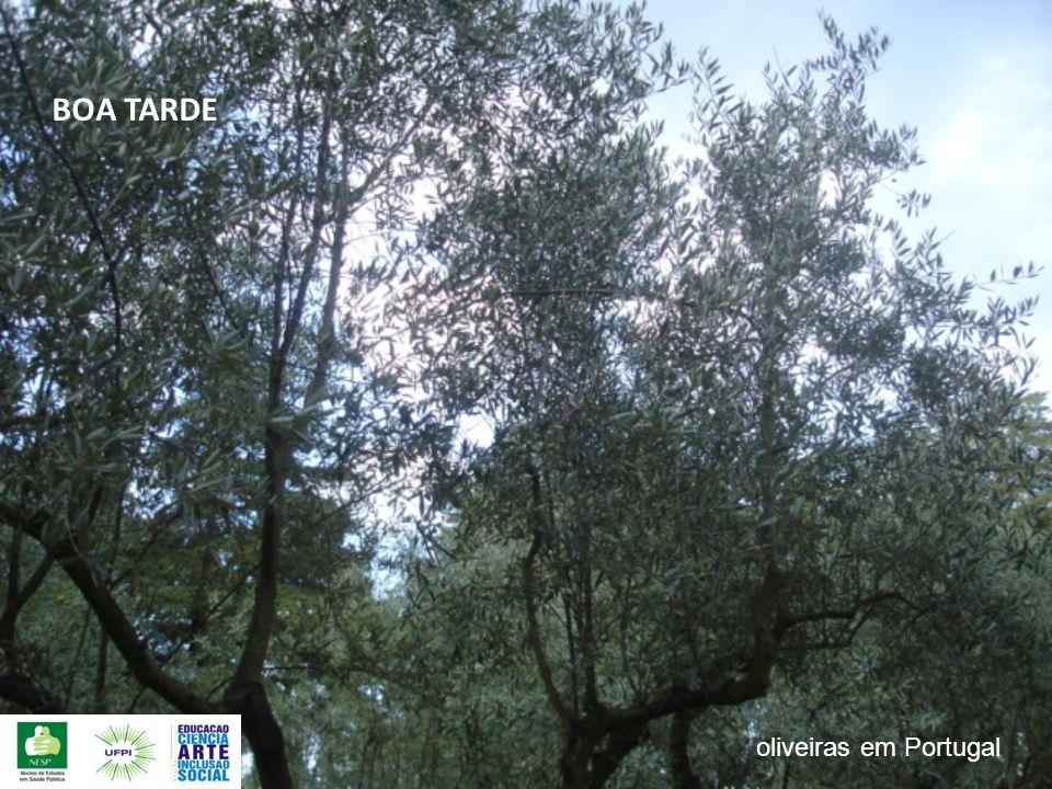 BOA TARDE oliveiras em Portugal