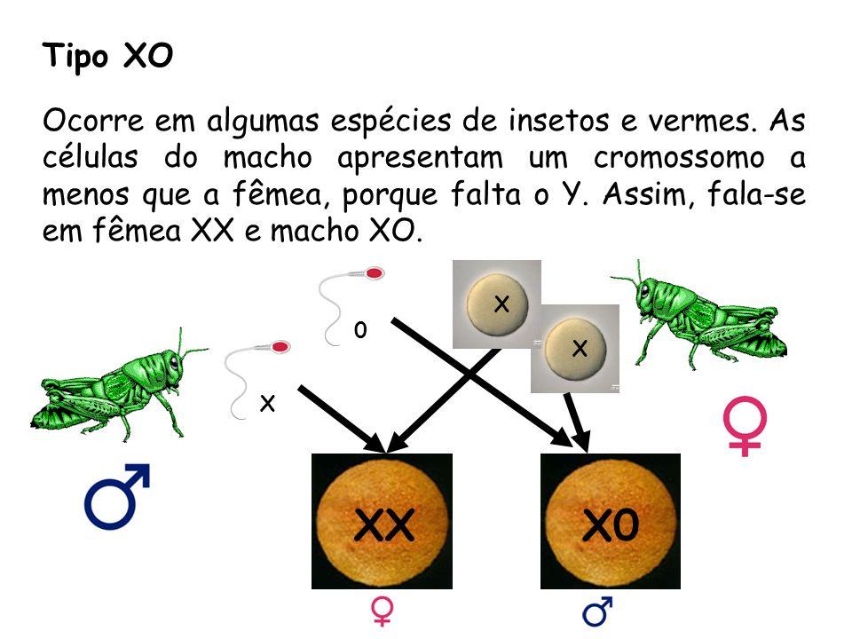 Tipo XO Ocorre em algumas espécies de insetos e vermes.