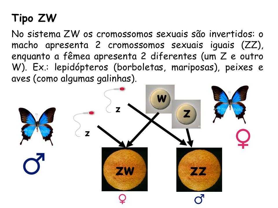 Tipo ZW No sistema ZW os cromossomos sexuais são invertidos: o macho apresenta 2 cromossomos sexuais iguais (ZZ), enquanto a fêmea apresenta 2 diferentes (um Z e outro W).