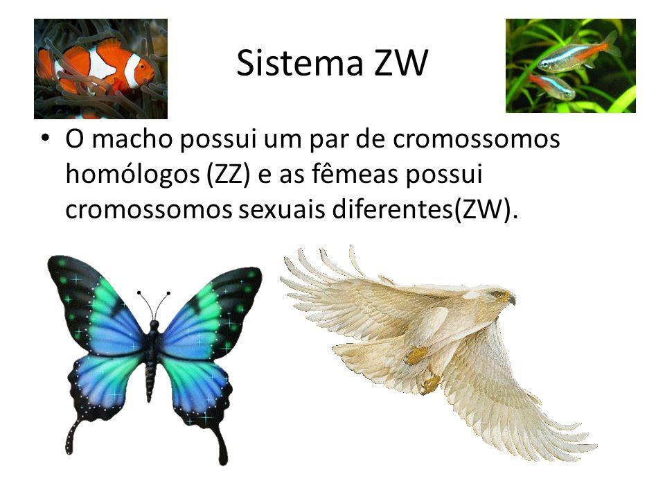 Sistema ZW O macho possui um par de cromossomos homólogos (ZZ) e as fêmeas possui cromossomos sexuais diferentes(ZW).