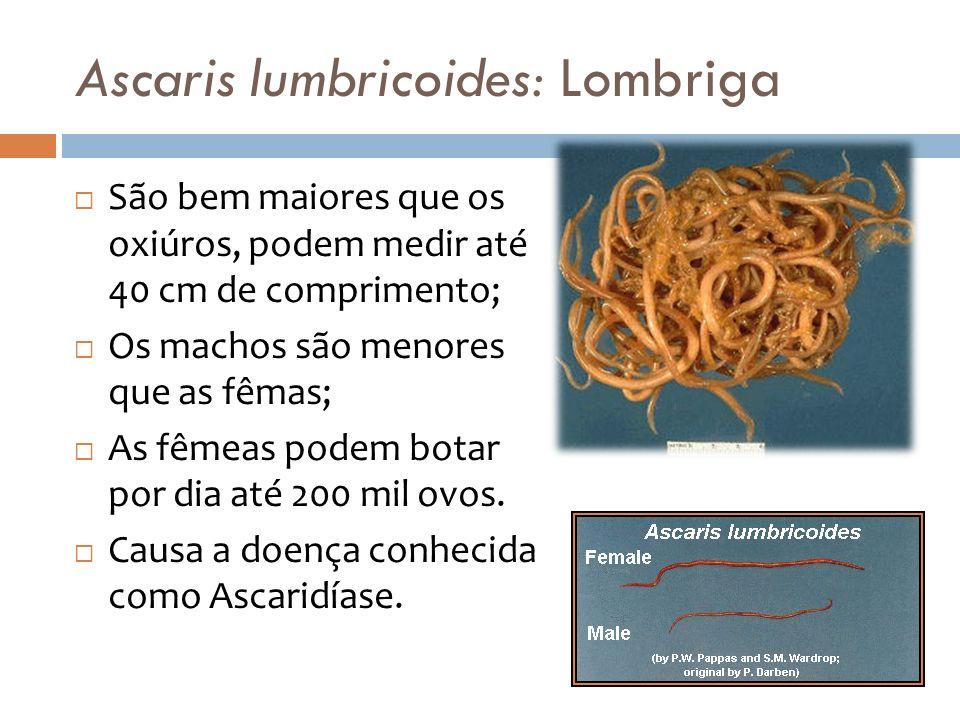 Ascaris lumbricoides: Lombriga São bem maiores que os oxiúros, podem medir até 40 cm de comprimento; Os machos são menores que as fêmas; As fêmeas pod