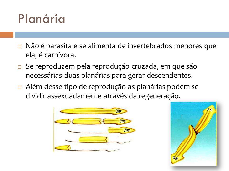 Planária Não é parasita e se alimenta de invertebrados menores que ela, é carnívora. Se reproduzem pela reprodução cruzada, em que são necessárias dua