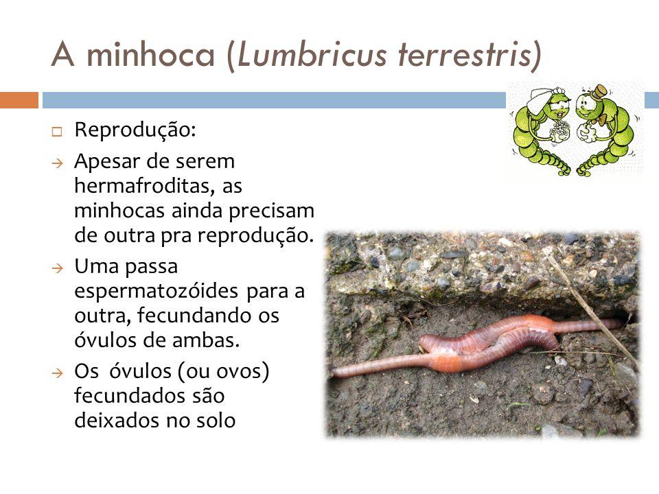 Reprodução: Apesar de serem hermafroditas, as minhocas ainda precisam de outra pra reprodução. Uma passa espermatozóides para a outra, fecundando os ó