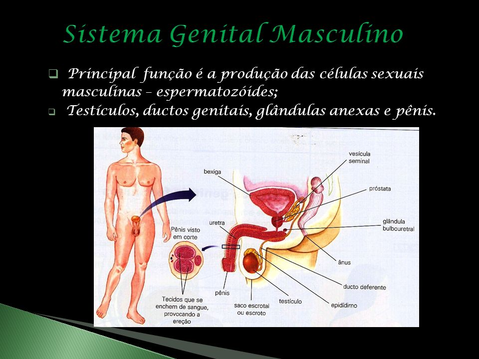 Principal função é a produção das células sexuais masculinas – espermatozóides; Testículos, ductos genitais, glândulas anexas e pênis.