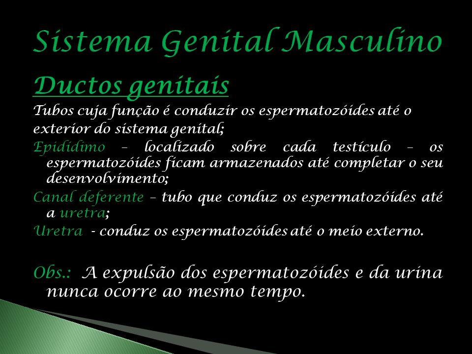 Ductos genitais Tubos cuja função é conduzir os espermatozóides até o exterior do sistema genital; Epidídimo – localizado sobre cada testículo – os espermatozóides ficam armazenados até completar o seu desenvolvimento; Canal deferente – tubo que conduz os espermatozóides até a uretra; Uretra - conduz os espermatozóides até o meio externo.