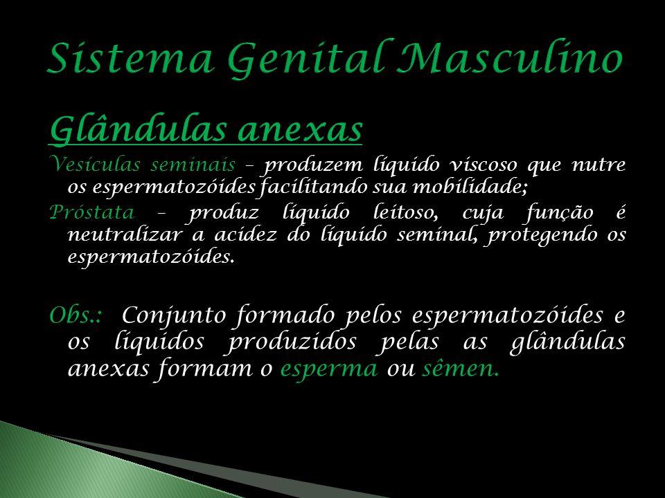 Glândulas anexas Vesículas seminais – produzem líquido viscoso que nutre os espermatozóides facilitando sua mobilidade; Próstata – produz líquido leitoso, cuja função é neutralizar a acidez do líquido seminal, protegendo os espermatozóides.