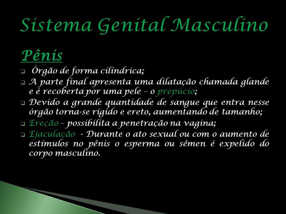 Pênis Órgão de forma cilíndrica; A parte final apresenta uma dilatação chamada glande e é recoberta por uma pele – o prepúcio; Devido a grande quantidade de sangue que entra nesse órgão torna-se rígido e ereto, aumentando de tamanho; Ereção – possibilita a penetração na vagina; Ejaculação - Durante o ato sexual ou com o aumento de estímulos no pênis o esperma ou sêmen é expelido do corpo masculino.