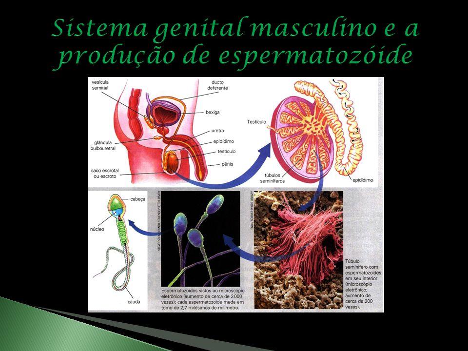 Pênis Órgão de forma cilíndrica; A parte final apresenta uma dilatação chamada glande e é recoberta por uma pele – o prepúcio; Devido a grande quantid