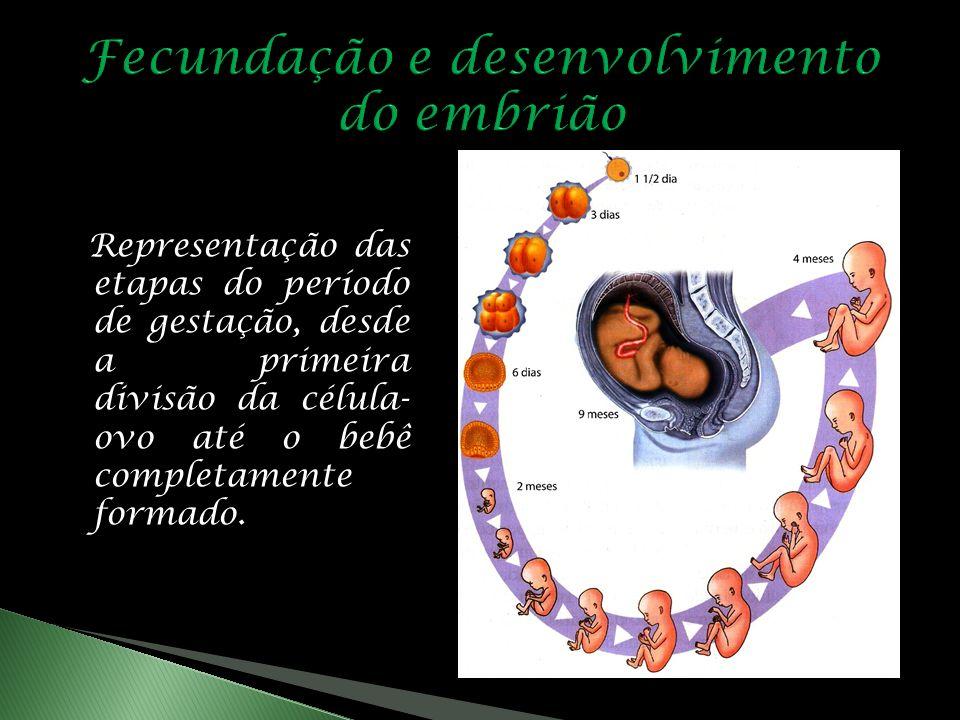 Representação das etapas do período de gestação, desde a primeira divisão da célula- ovo até o bebê completamente formado.
