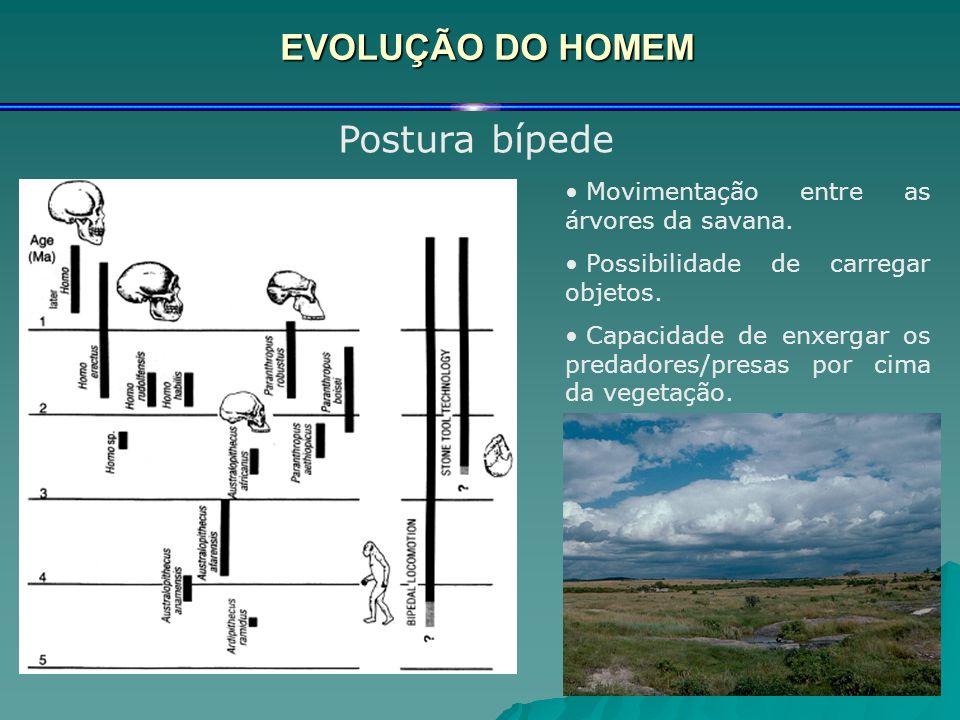 EVOLUÇÃO DO HOMEM Postura bípede Movimentação entre as árvores da savana. Possibilidade de carregar objetos. Capacidade de enxergar os predadores/pres
