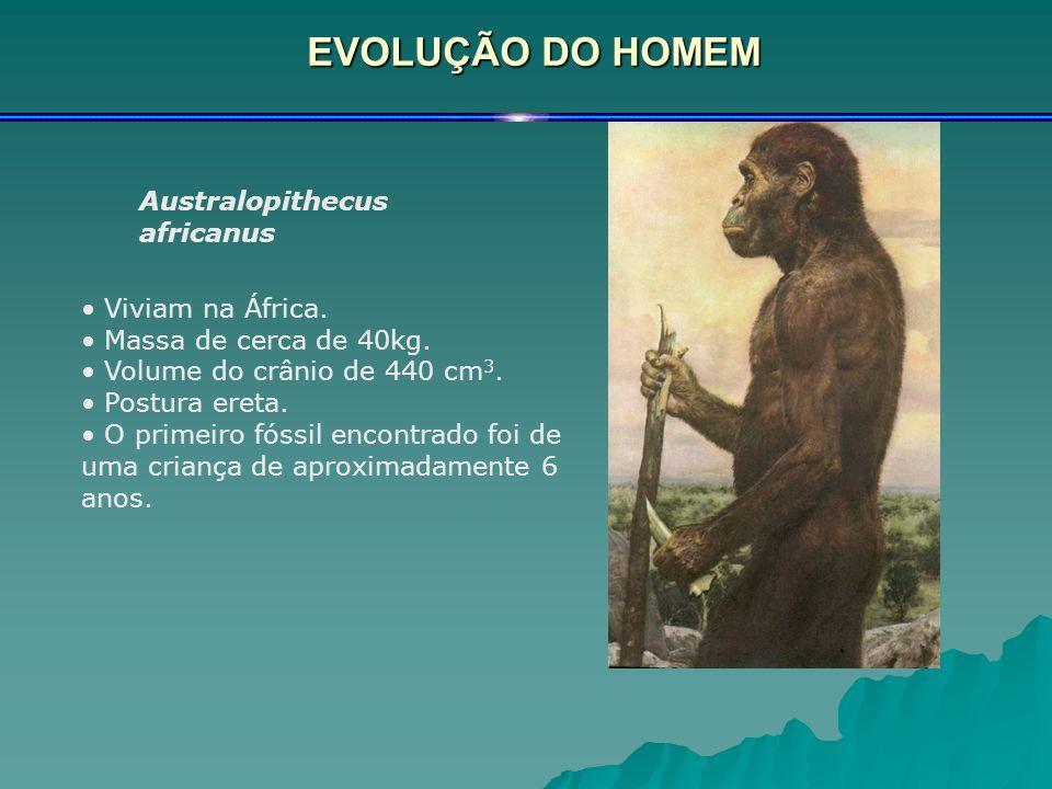EVOLUÇÃO DO HOMEM Australopithecus africanus Viviam na África. Massa de cerca de 40kg. Volume do crânio de 440 cm 3. Postura ereta. O primeiro fóssil