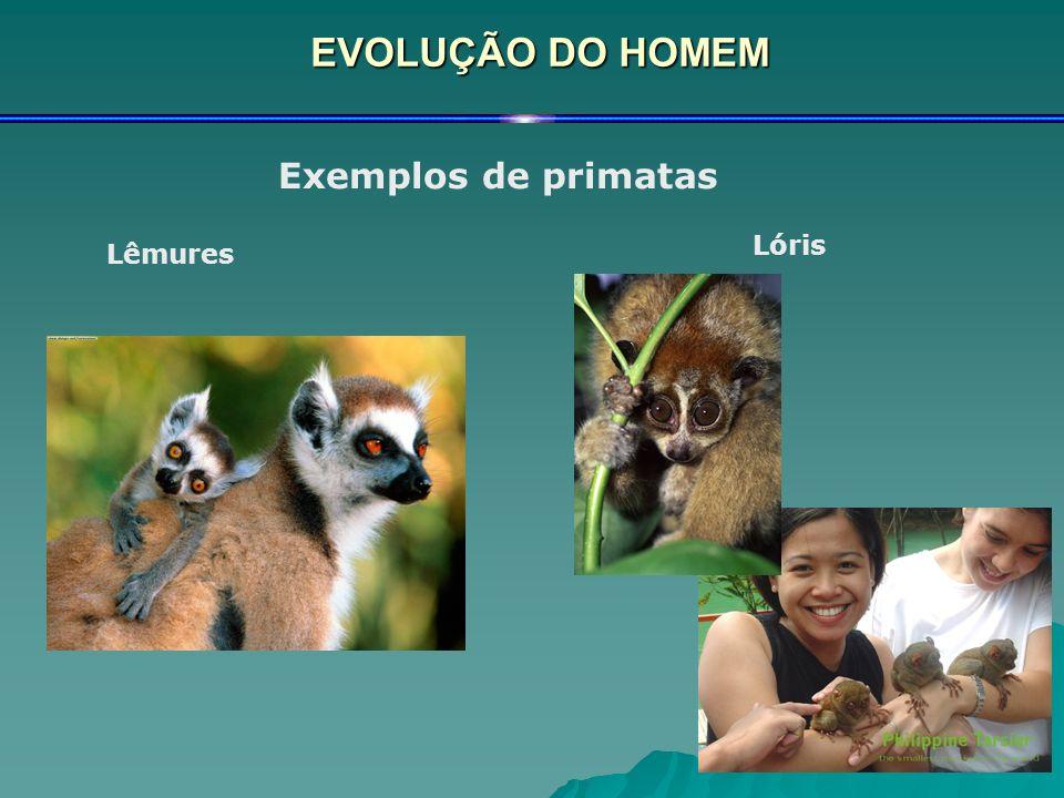 EVOLUÇÃO DO HOMEM Exemplos de primatas Lêmures Lóris