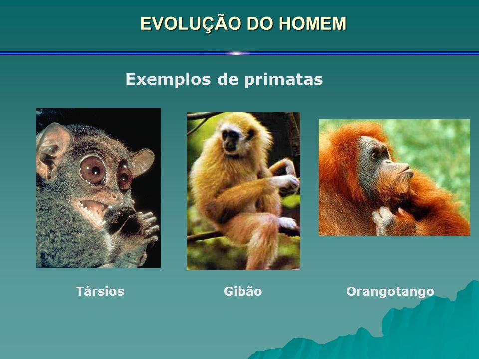 EVOLUÇÃO DO HOMEM Exemplos de primatas TársiosGibãoOrangotango