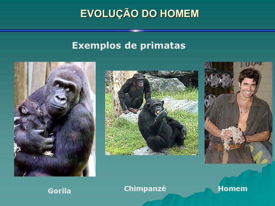 EVOLUÇÃO DO HOMEM Exemplos de primatas Gorila ChimpanzéHomem